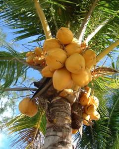 Kokos-palmboom