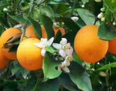 Oranjebloesemwater wordt gemaakt van citrusvruchten