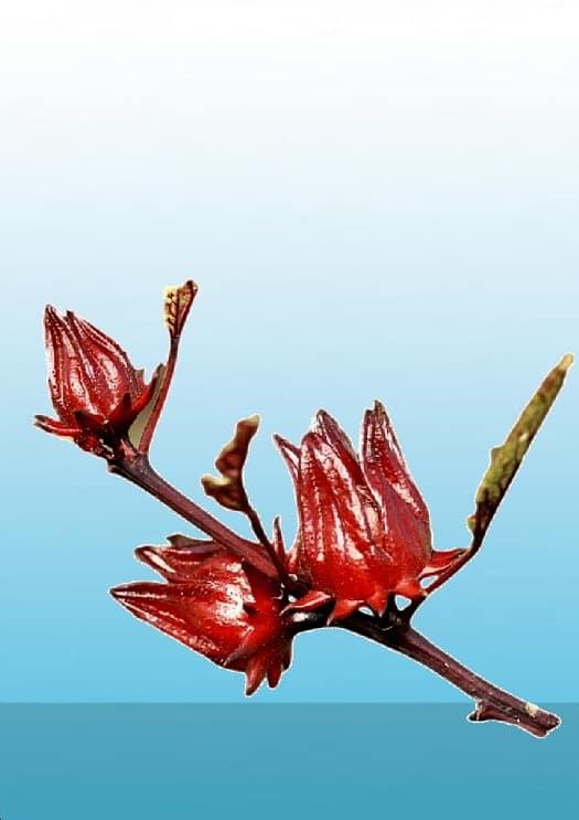 hibiscus-02-baking-soda-nl