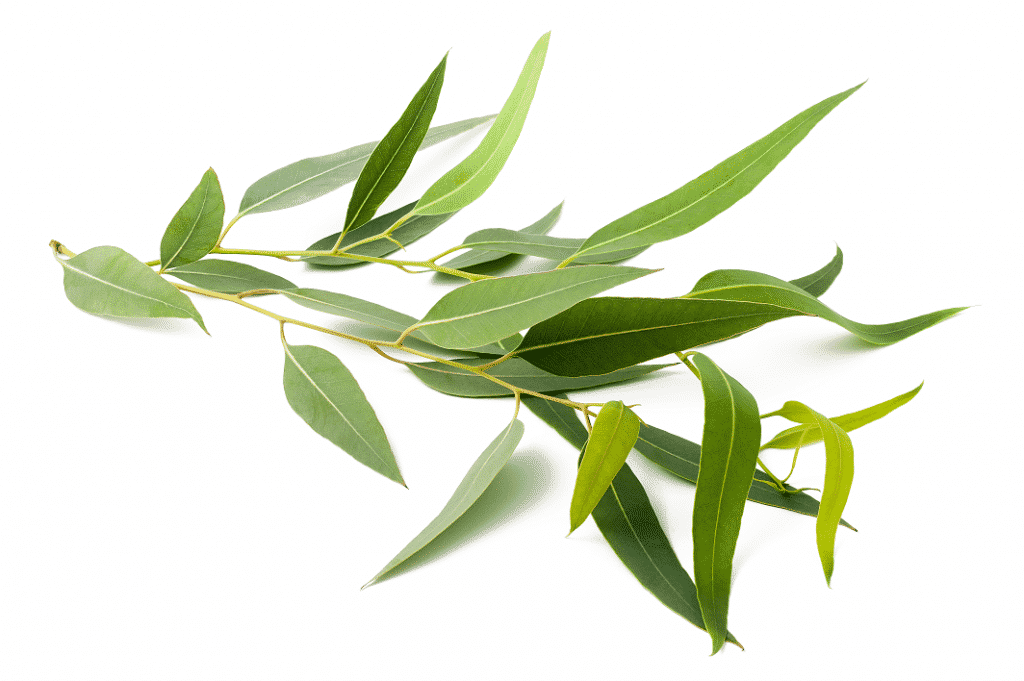 eucalyptus-03-baking-soda-nl