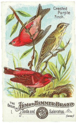 020108-ah320-front-crested-purple-finch